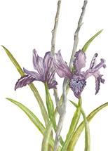 Wild Iris in the Hills by Ellen Gordon