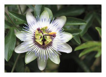 Climbing Passion Flower