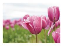 Tulip Festival by Khariza
