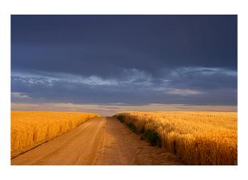 Dirt Road Through a Wheat Field Under a Stormy Sky