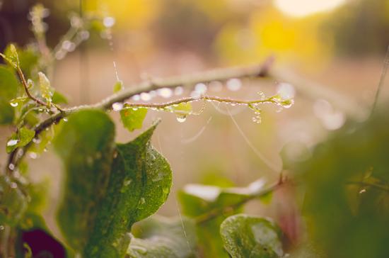 art prints - Drops of Dew by Sara Torbett
