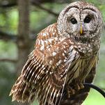 The Owl in the Ravine by Lara Klinger