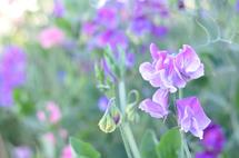Magical Sweet Peas by Karly Rose Sahr