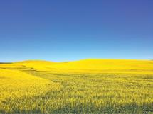Mustard Fields of the P... by Emily Ann