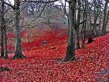 Red Forest by nicole dypolt