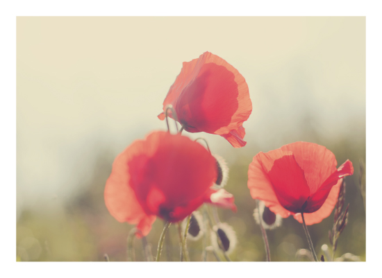 art prints - poppies by Stacy Cooke
