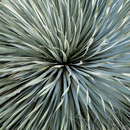 art prints - Yucca by Debbie Barbare