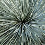 Yucca by Debbie Barbare