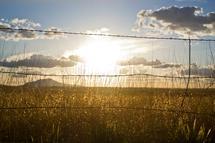 Golden Field by Jacie Morgan