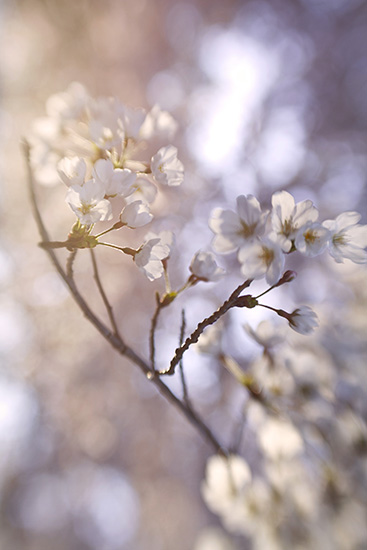 art prints - Cherry Blossom Sunset by Courtney Bowles