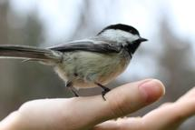 Chickadee by Claire Duda