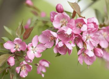 Crab Apple Blossoms 2