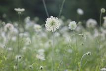 Queen Anne's Lace by Carole Shepardson