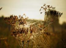 Golden meadow by Olga Davydova