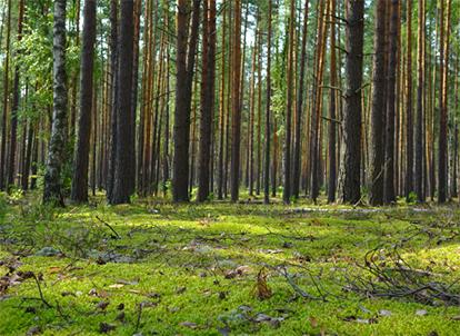 art prints - Pine forest by Olga Davydova