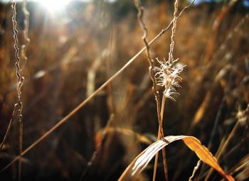 dry grasses at sunset