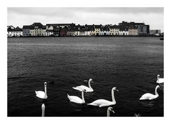 Swans of Galway