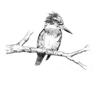 Hunting - Belted Kingfisher