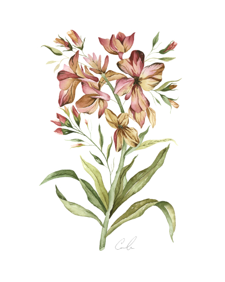art prints - Botanical Alstromeria by Cara Rosalie Olsen