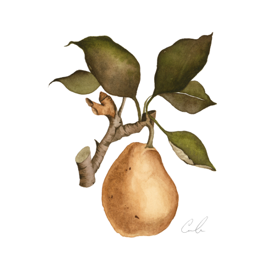 art prints - Vintage Pear by Cara Rosalie Olsen