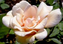 Versailles Rose by LWCallison