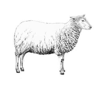Sheep in Profile
