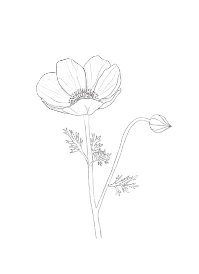 art prints - Anemone Line by Heidi Heitz