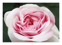 Elegant Rose by Amanda Zoss