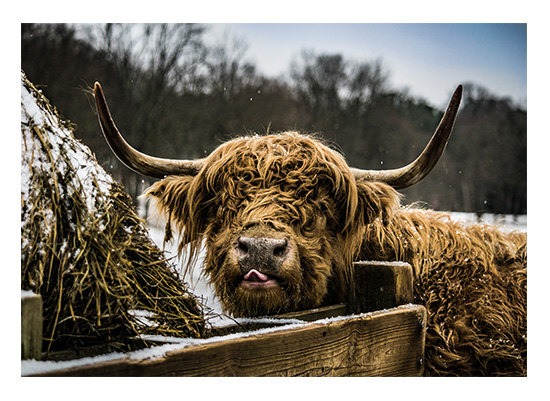 art prints - Scottish Highlander 1 by Christopher Deau