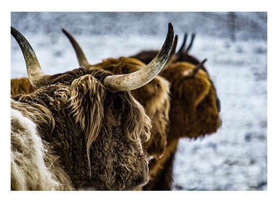 art prints - Scottish Highlander 2 by Christopher Deau