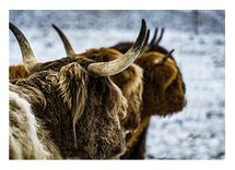 Scottish Highlander 2 by Christopher Deau