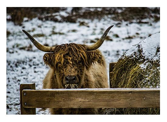 art prints - Scottish Highlander 3 by Christopher Deau