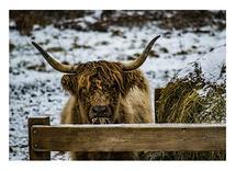 Scottish Highlander 3 by Christopher Deau