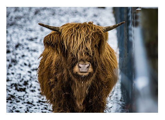 art prints - Scottish Highlander 4 by Christopher Deau