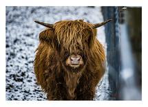 Scottish Highlander 4 by Christopher Deau