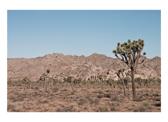 art prints - Joshua Tree in Front of Other Joshua Trees by Kathy Van Torne