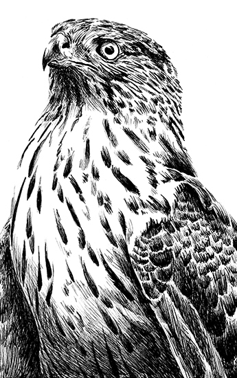 art prints - Red-tailed Hawk by BreeAnn Veenstra