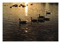 Silhouette Swans by Amy Stevenson Wilson