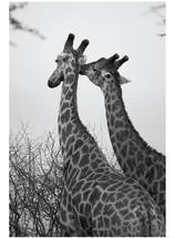 Giraffe Kiss by Zani