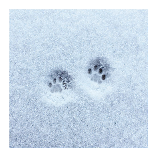 art prints - Kitty Paws in New Snow by Nicole Winn