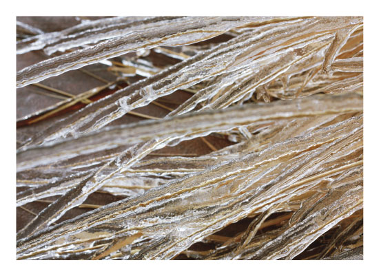 art prints - Icy Glass Coated Ornamental Grass by Nicole Winn