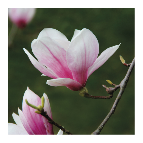 art prints - Magnolia by MoMint