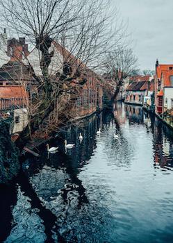 Swans in Bruges