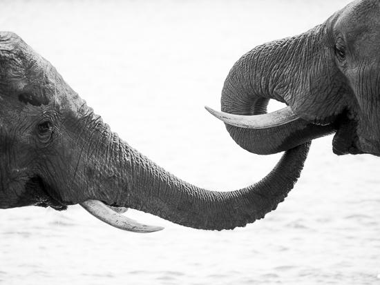 art prints - Elephant Kiss by Jennifer Mckinnon Richman