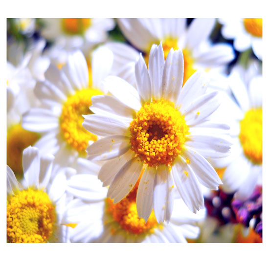 art prints - Sunny chamomile by Lesia