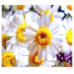 Sunny chamomile by Lesia