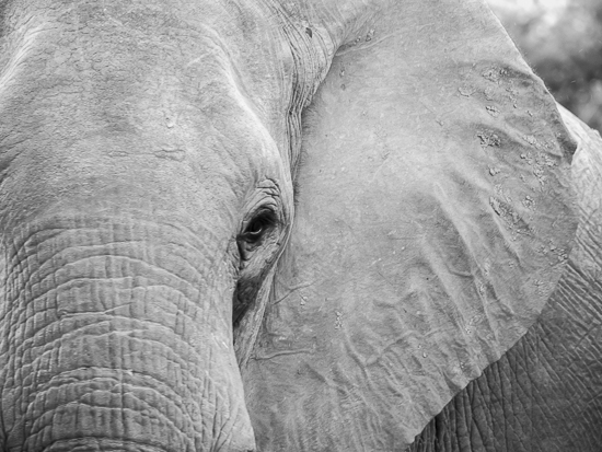 art prints - Elephant Eye by Jennifer Mckinnon Richman