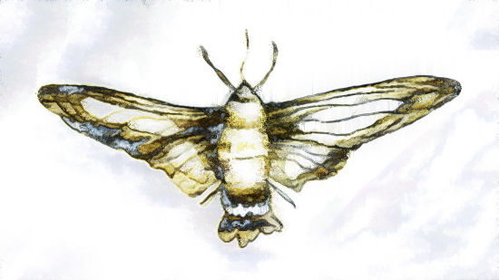 art prints - Hummingbird Hawk Moth by Lauren Rose Jackson