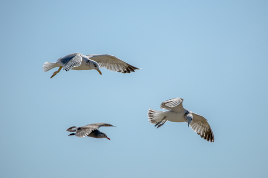 art prints - Seagulls Aloft by Jason