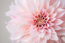 hello dahlia by Crystal Lynn Collins